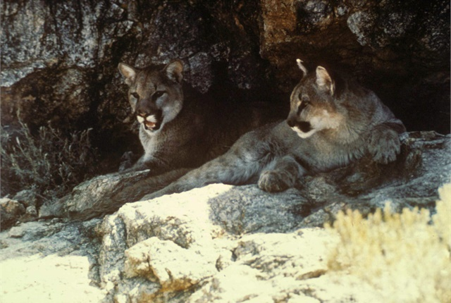 Photo of cougars courtesy of U.S. Fish and Wildlife Service via Wikimedia Commons.